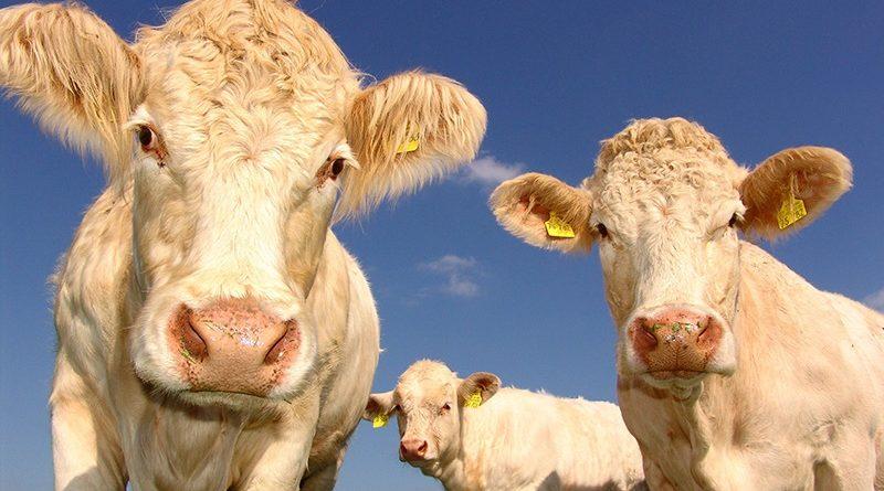 Kleine Anfrage enthüllt: Sächsische Tiertransporte gehen in Hochrisikostaaten